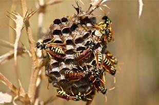 10 wespen op een wespennest