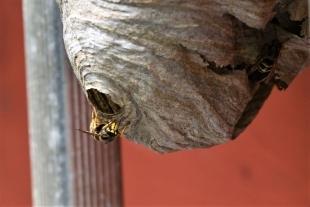 Voorbeeld wespennest